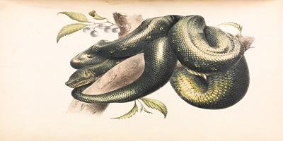 Piirroskuva puun oksalla loikoilevasta käärmeestä.